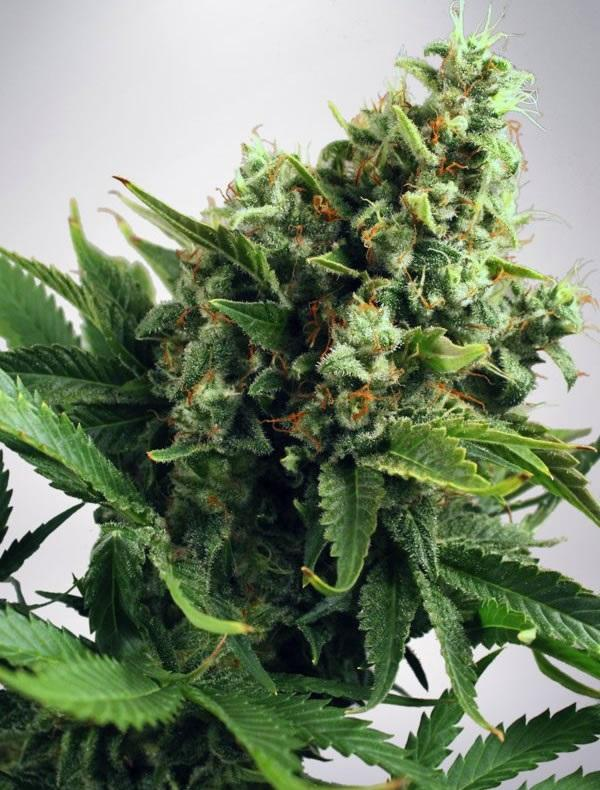 Auto White Widow (Pack 5 semillas)