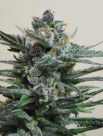 Blue Acid Auto (Pack 3 semillas)