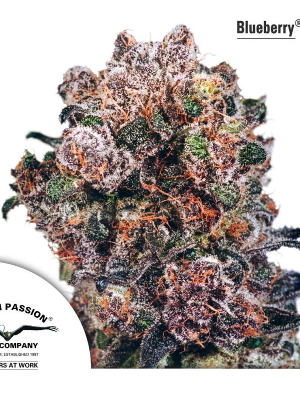 Blueberry (10-seed pack)