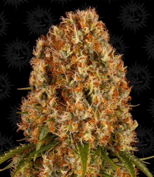 Orange Sherbert (Pack 3 semillas)