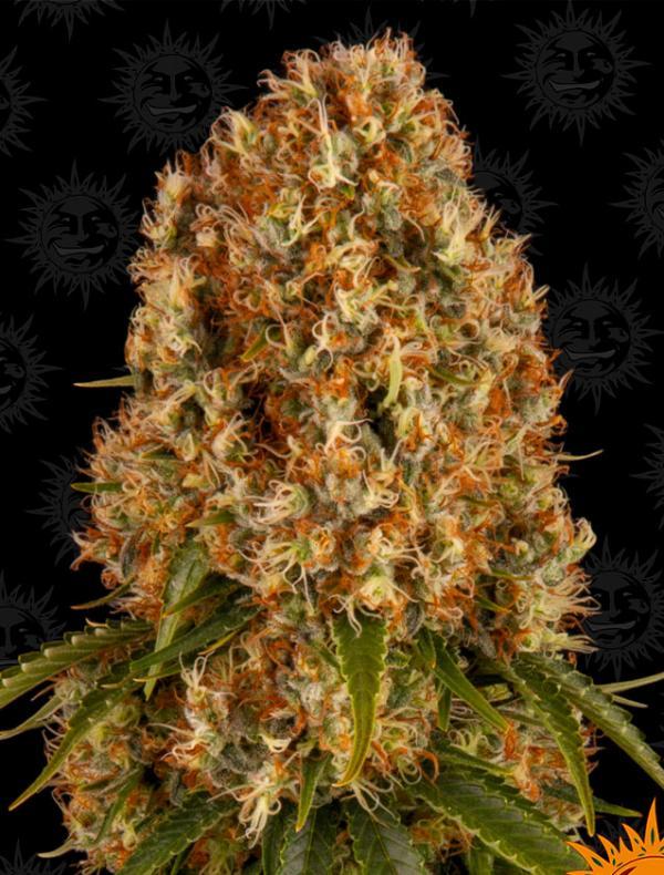 Orange Sherbert (3-seed pack)