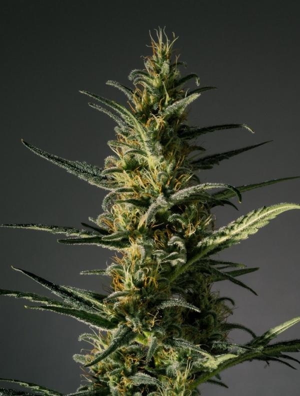 Candida (Pack 3 semillas)
