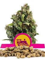 Candy Kush Express Fast Version (Pack 100 semillas)