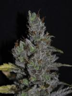 CBD Medihaze (5-seed pack)