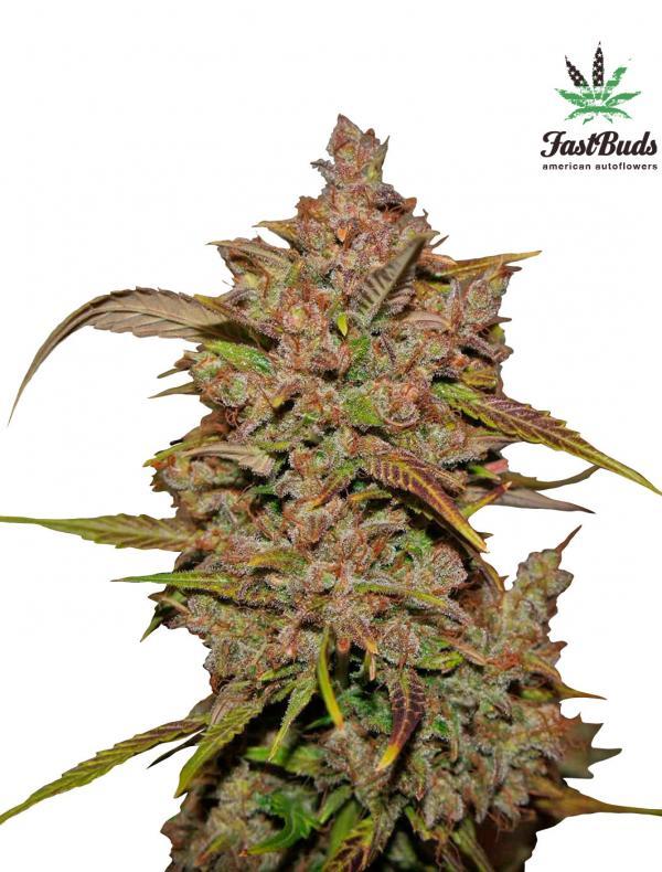 Crystal Meth (Pack 1 semilla)