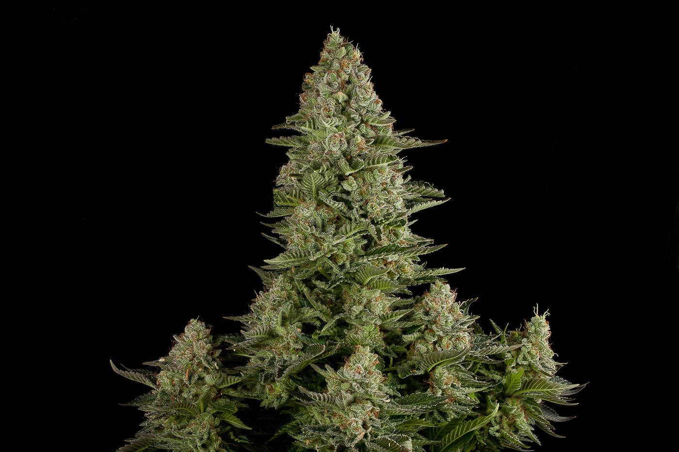 Сорт марихуаны ww как сушить коноплю и курить