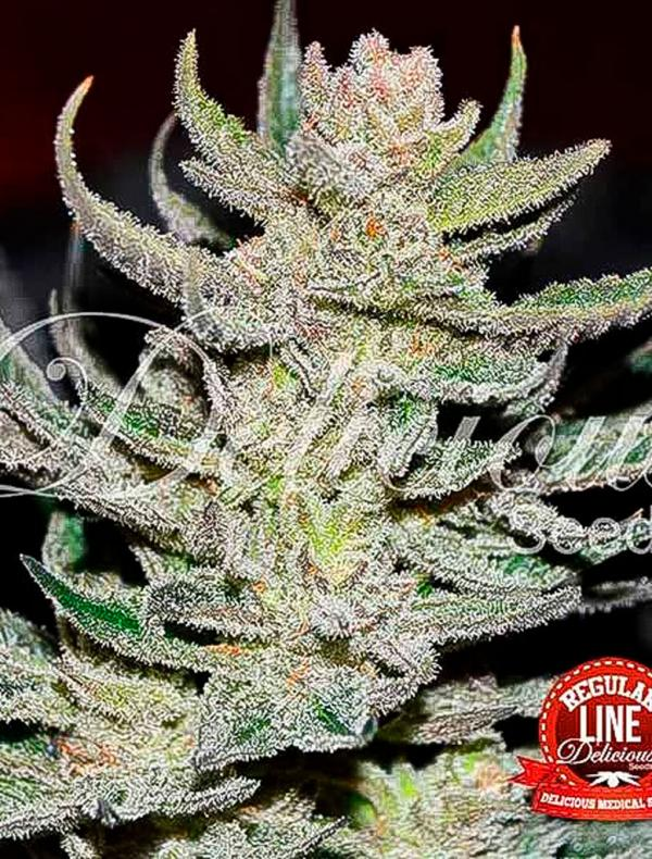 Unknown Kush (Pack 7 graines)