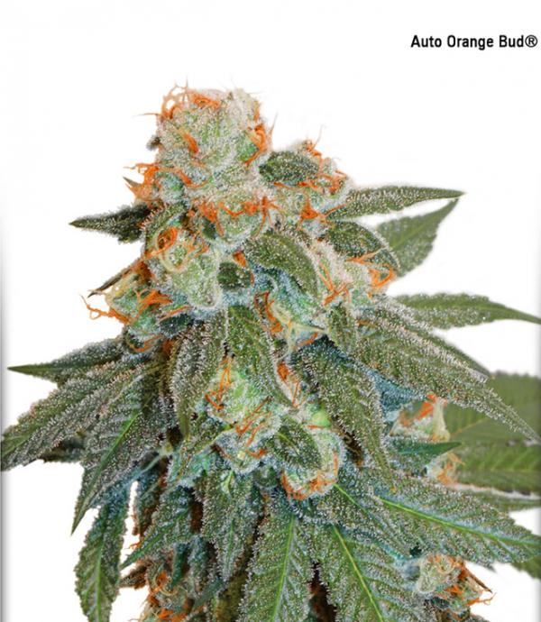 Auto Orange Bud (Pack 1 graine)