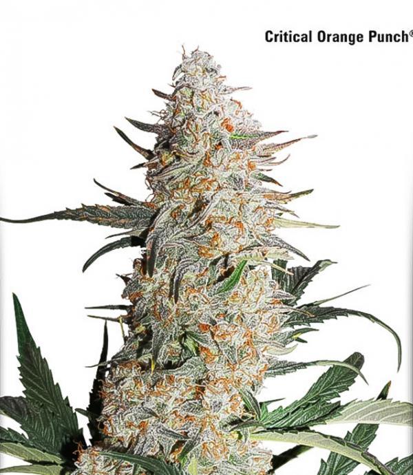 Critical Orange Punch (Pack 1 graine)