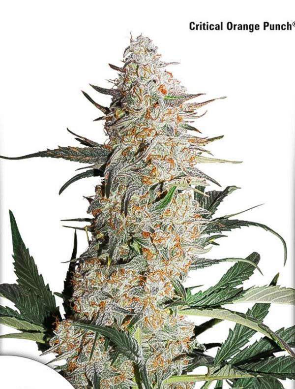 Critical Orange Punch (1-seed pack)