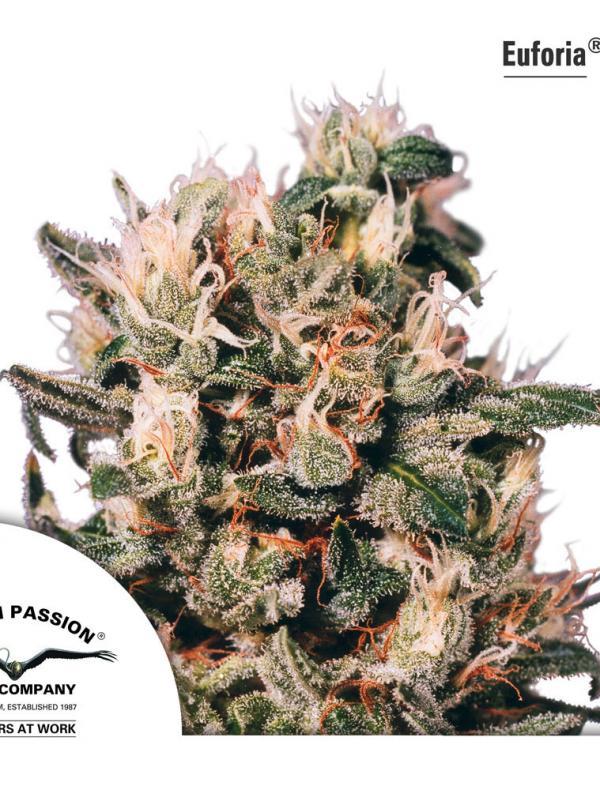 Euforia (Pack 10 graines)
