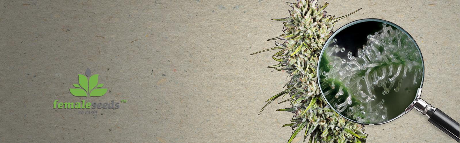 Graines de Cannabis Female Seeds