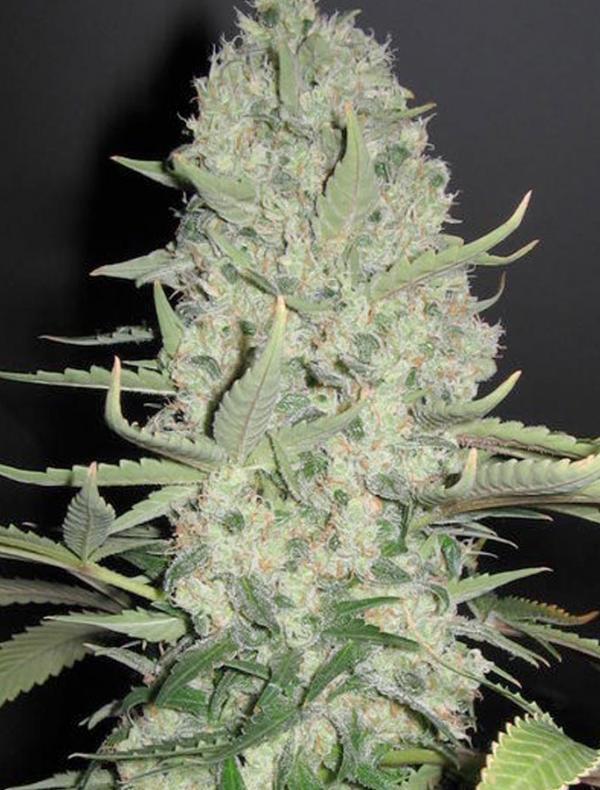 White Widow X Big Bud (4-seed pack)