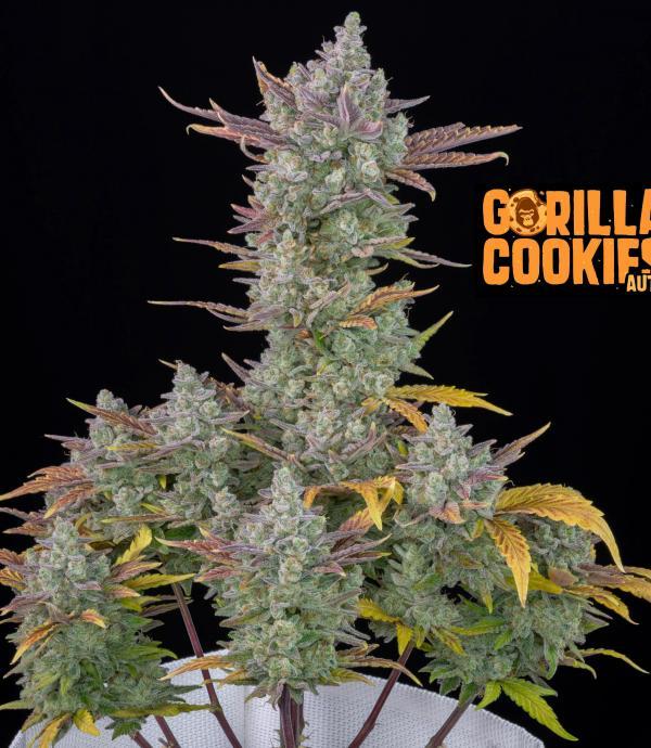 Gorilla Cookies Auto (Pack 1 semilla)