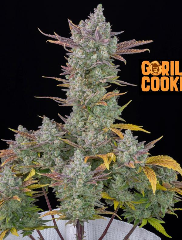 Gorilla Cookies Auto (Pack 1 graine)