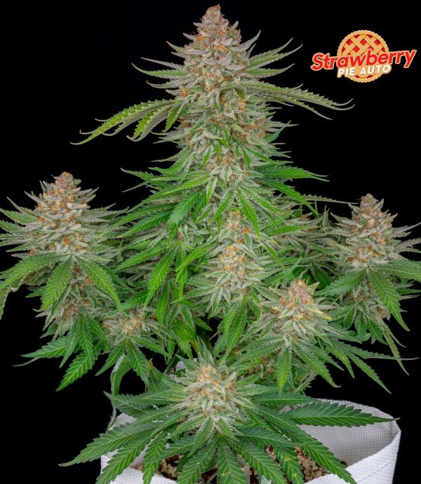 Strawberry Pie Auto (1-seed pack)
