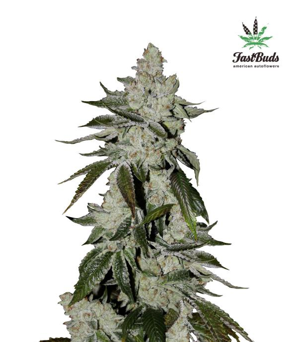 Cookies Auto (Girl Scout) (1-seed pack)