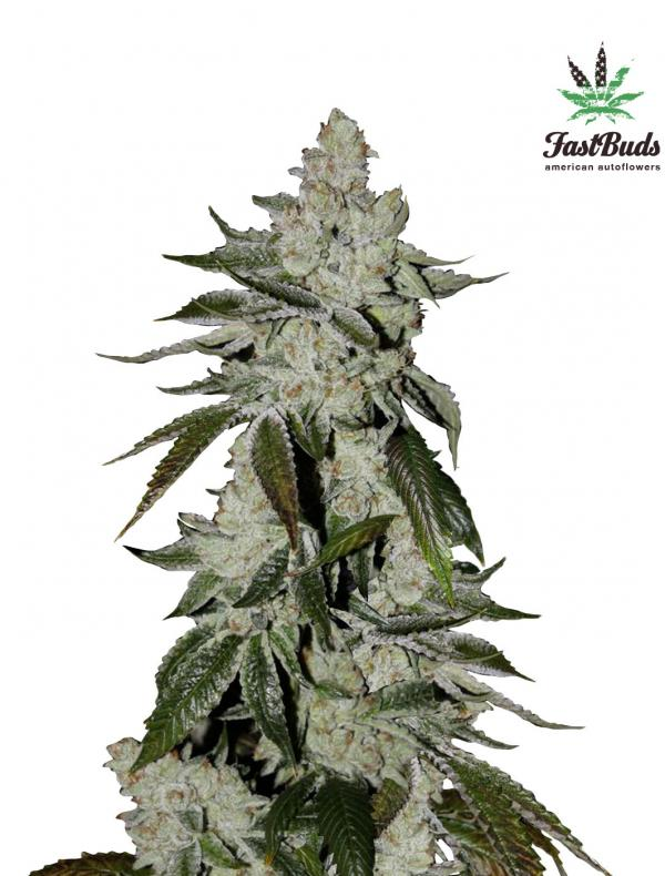Cookies Auto (Girl Scout) (Pack 1 graine)