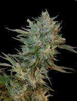 Haze Gom (3-seed pack)