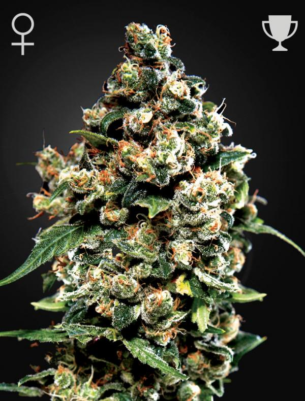Jack Herer (Pack 3 semillas)