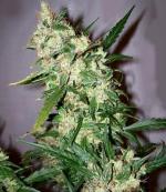 Skunk Haze (15-seed pack)