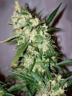 Skunk Haze (Pack 15 semillas)