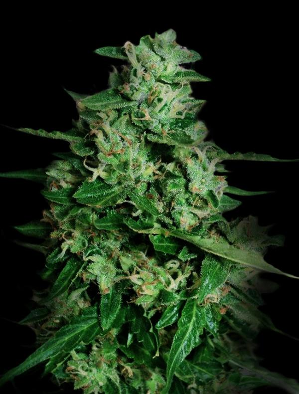 Northern Delights Auto (3-seed pack)