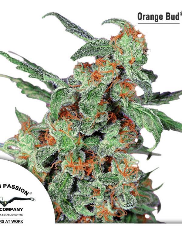 Orange Bud (Pack 1 graine)
