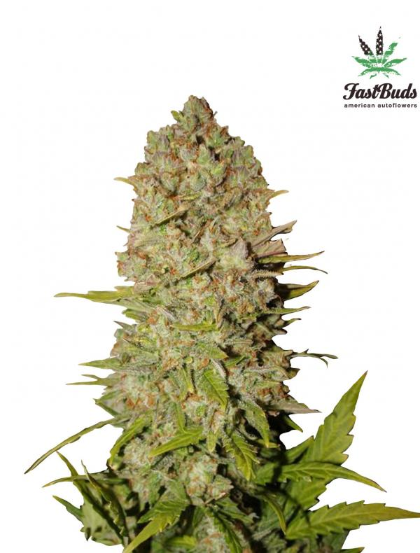 Pineapple Express (Pack 1 graine)