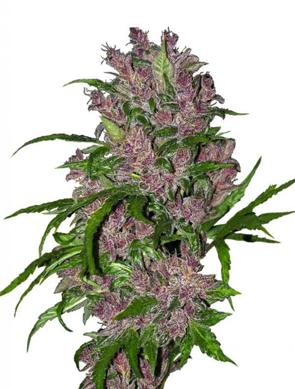 Purple Bud (Pack 1 graine)