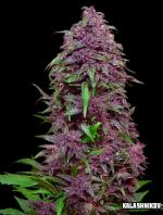 Purple Mazar Auto (Pack 3 semillas)