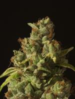 Rollex OG Kush (3-seed pack)