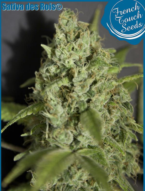 Sativa Des Rois (1-seed pack)