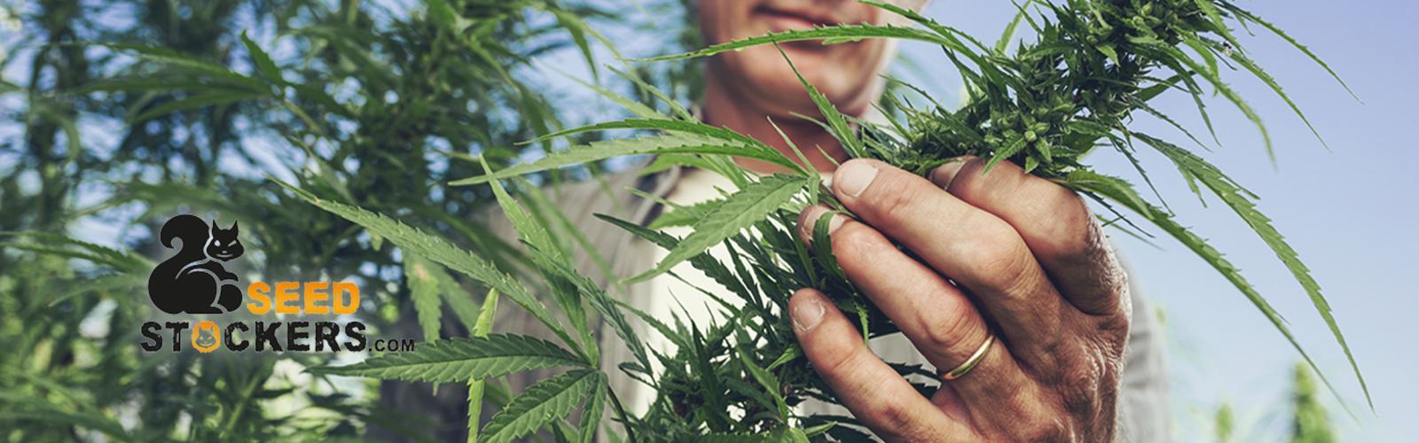 Semillas de Marihuana CBD Seedstockers