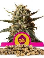 Bubblegum Xl (100-seed pack)