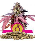 Purple Queen (Pack 100 semillas)