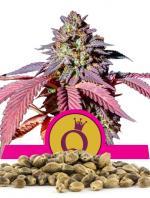 Purple Queen (Pack 100 graines)