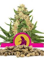 Fat Banana (100-seed pack)