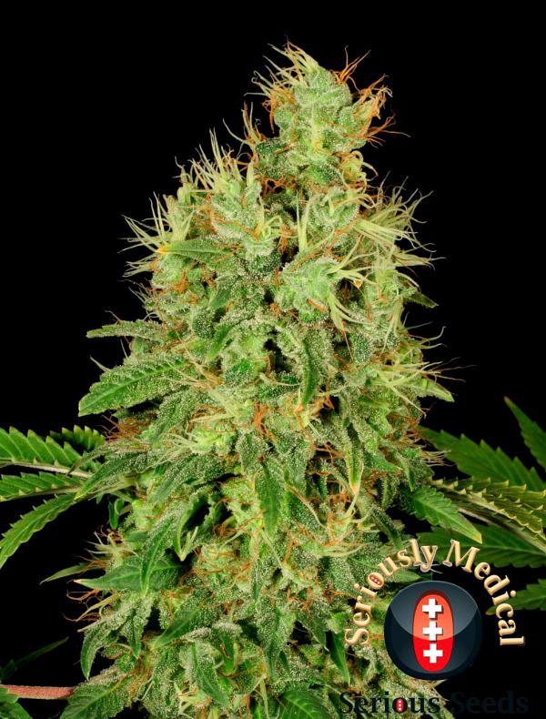 CBD Chronic (6-seed pack)