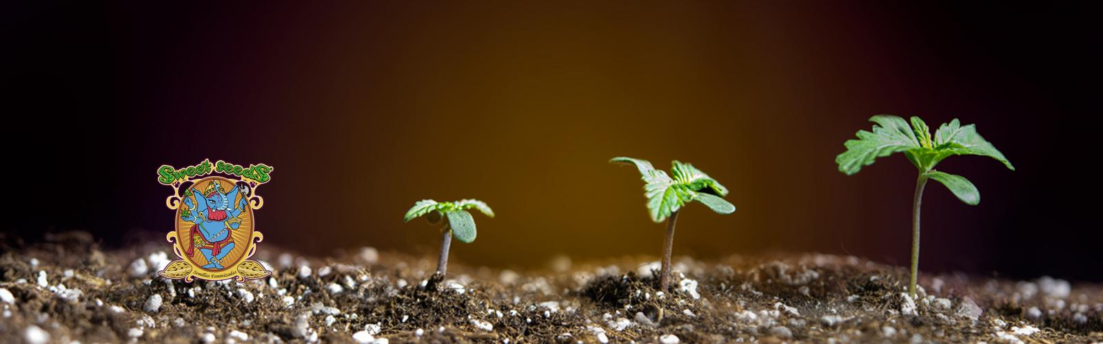 Sweet Seeds Cannabis Seeds