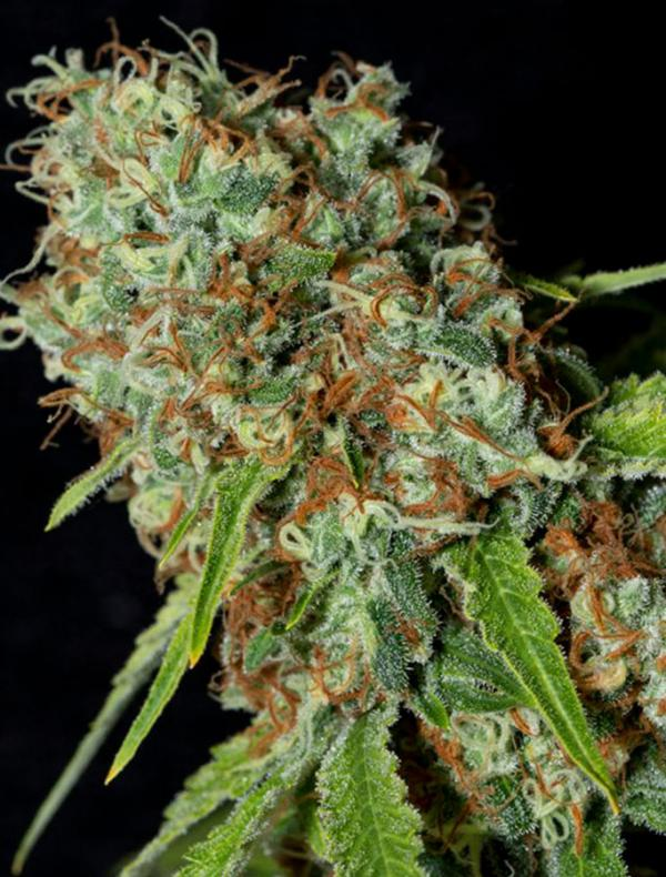 Jamaican Dream CBD (3-seed pack)