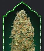 White Widow (5-seed pack)