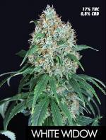 White Widow (Pack 1 graine)