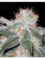 White Widow (Pack 3 graines)