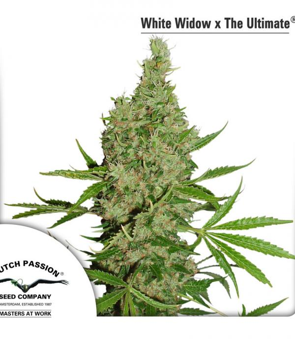 White Widow X The Ultimate (Pack 10 graines)