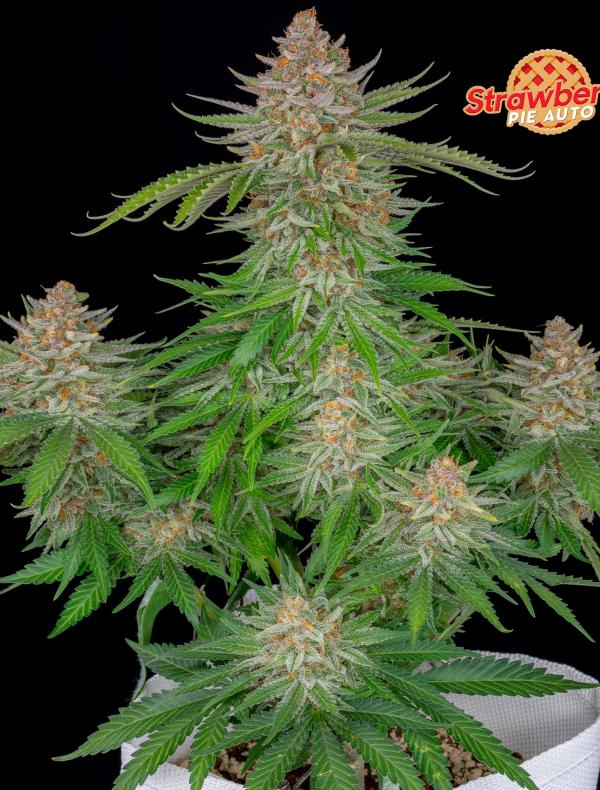 Strawberry Pie Auto (Pack 100 semillas)